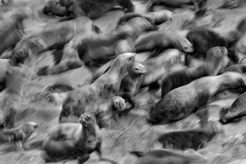 Lobos marinos (Otaria flavescens) en las costas de Patagonia, Argentina. Blanco y negro