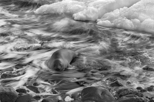 Elefante Marino (Mirounga leonina) en Antártida. Antarctica